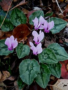 Cyclamen hederifolium - October 24.jpg