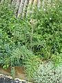 Cynara cardunculus flavescens (14302163572).jpg