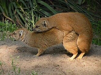 Yellow mongoose - Yellow mongooses mating