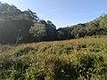 Cyperus weed.jpg