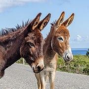 Cyprus donkeys (square format), Karpaz, Northern Cyprus.jpg