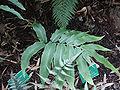 Cyrtomium juglandifolium fronde.jpg