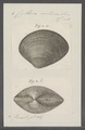 Cytherea castanea - - Print - Iconographia Zoologica - Special Collections University of Amsterdam - UBAINV0274 078 01 0005.tif