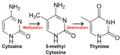 Cytosine becomes thymine.png
