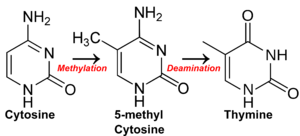 CpG site - How methylation of CpG sites followed by spontaneous deamination leads to a lack of CpG sites in methylated DNA. As a result, residual CpG islands are created in areas where methylation is rare, and CpG sites stick (or where C to T mutation is highly detrimental).