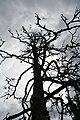 Dött träd - panoramio.jpg