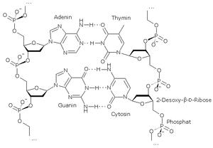 Wasserstoffbrückenbindung Dna
