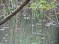 DSC02291 Teich zur Aufzucht autochthoner Fischarten ,,.jpg
