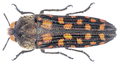 Dactylozodes monteiroi Théry, 1935.png