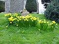 Daffs in Hernhill churchyard - geograph.org.uk - 351026.jpg
