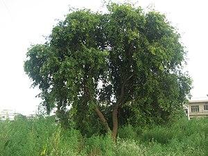 Dalbergia sissoo - A Sheesham tree growing in Pakistan.