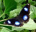 Danaid Eggfly^ Hypolimnas misippus - Flickr - gailhampshire.jpg