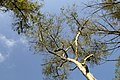 Darjeeling, India, Tree canopy against the clear blue sky.jpg