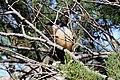 Dark-billed Cuckoo (Coccyzus melacoryphus) (15337847734).jpg