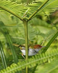 Dark-necked Tailorbird (Orthotomus atrogularis) - Male.jpg