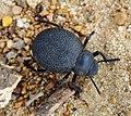 Darkling Beetle Pimelia sp. (28076114329).jpg