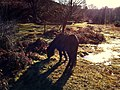 Dartmoor pony (5342172703).jpg