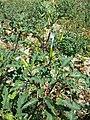 Datura stramonium var. tatula sl26.jpg