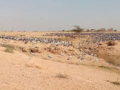 Demoiselle Cranes at Khichan (8).jpg