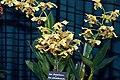 Dendrobium finnesterea x Dendrobium atroviolaceum 0zz.jpg