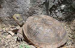 Desert-box-turtle.jpg
