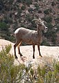 Desert bighorn sheep often blend into their surroundings, but can be spotted by the careful eye. (df2dc006-5328-48c6-992a-83df03af5277).jpg