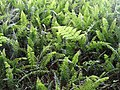 Detail of Ferns - Botanical Garden - Singapore (34848522484).jpg