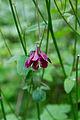 Detmold - 2014-06-13 - LIP-066 - Aquilegia vulgaris (04).jpg