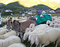 Dettaglio - asino porta pecore desarpa Cogne 2.jpg