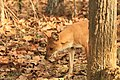Dhole or Wild dog (64).jpg