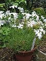Dianthus strictus var bebius1.jpg