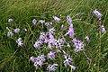 Dianthus superbus, RNN Remoray - img 07048.jpg