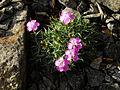 Dianthus webbianus var alpinus 1.JPG