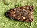 Diarsia dahlii - Barred chestnut - Подорожниковая совка жёлто-бурая (39271720190).jpg