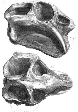 Dicynodont - An illustration of the skull of Dicynodon lacerticeps, first published in an 1845 description by Richard Owen.