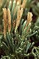 Diphasiastrum alpinum strobili (01).jpg