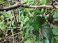 Diplocyclos palmatus-1-yercaud-salem-India.JPG