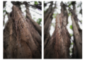 Diptych of Tree Bunches.png
