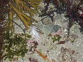Dirona albolineata opalescent nudibranch tidepool NPS Photo (17296570736).jpg