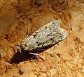 Diurnea fagella. Oecophoridae. - Flickr - gailhampshire.jpg