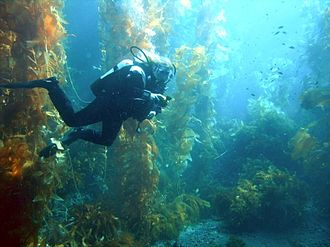 Kelp forest - A diver in a kelp forest off the coast of California