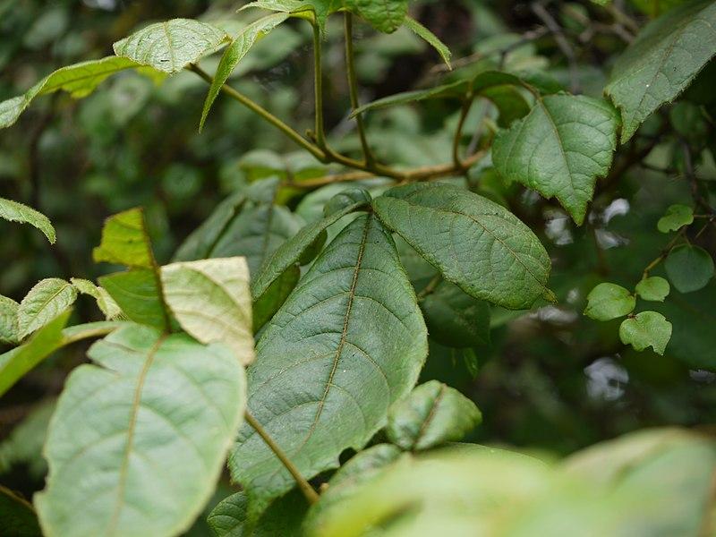 File:Diverse Trifoliate Sumach (4955271674).jpg