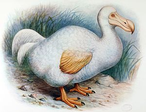 Réunion ibis - Frederick William Frohawk's 1907 restoration of the Réunion solitaire, adapted from Withoos' white dodo