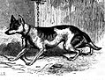 Dog–fox hybrid.JPG
