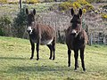 Donkeys at Dooks Mountain - geograph.org.uk - 647635.jpg