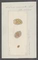 Doris muricata - - Print - Iconographia Zoologica - Special Collections University of Amsterdam - UBAINV0274 080 21 0020.tif