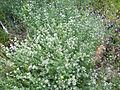 Dorycnium pentaphyllum Habitus Valderepisa 2012-05-31 SierraMadrona.jpg