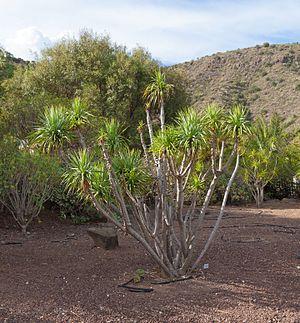 Dracaena (plant) - Image: Dracaena ellenbeckiana Jardín Botánico Canario Viera y Clavijo Gran Canaria