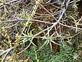 Dracophyllum recurvum Whakapapa 1.JPG
