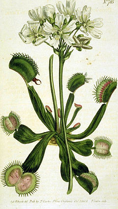 Drawing of Venus Flytrap.jpg